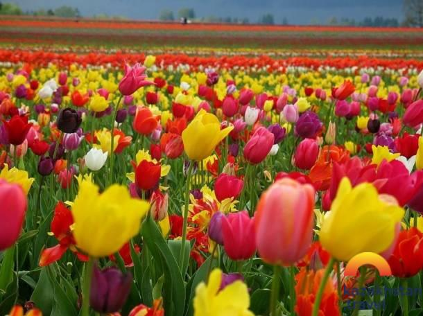 """Way of Tulip"" festival"