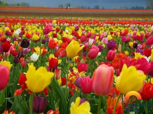 Фестиваль «Путь тюльпана»